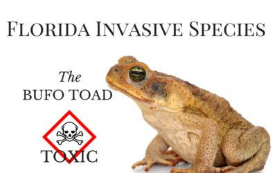 Florida Invasive Species: The Big Bad Bufo In Lakeland