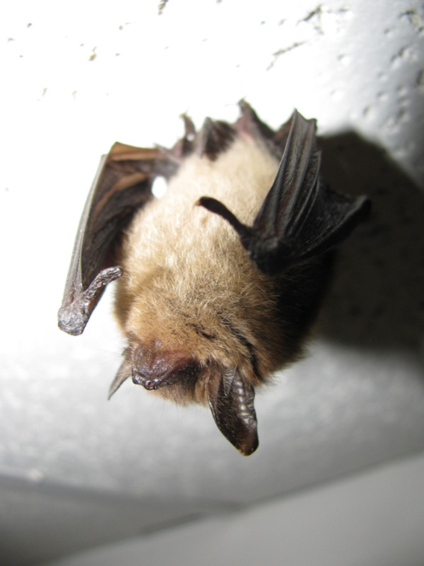 Bats & Safely Dealing With Them: How to Protect Your Belfry - L&R Wildlife Removal Experts