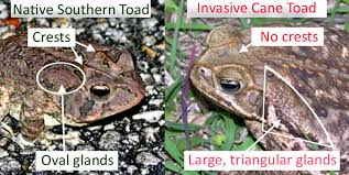 Florida Invasive Species - Bufo Toad - Lakeland
