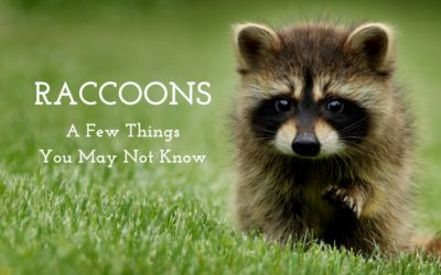 Raccoons: A Few Things You May Not Know