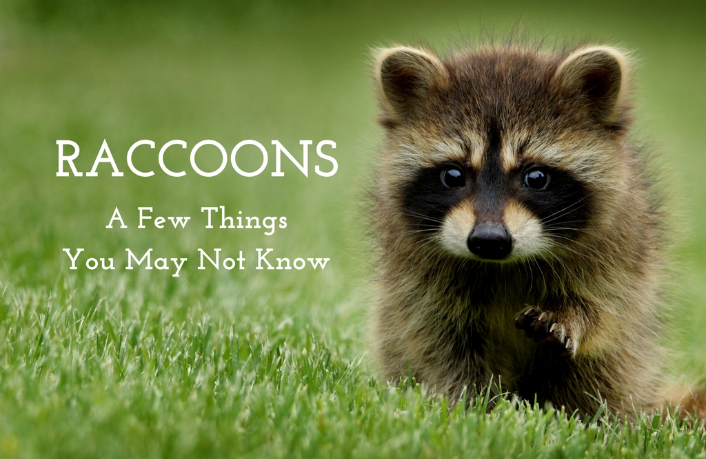 Racoons: A Few Things You May Not Know | Wildlife Removal Experts in Polk County, FL | Lisa Ricigliano